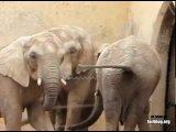 Слон-копрофаг